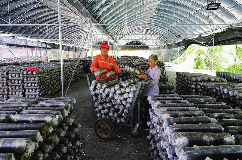 发展食用菌产业持续带动村民增收
